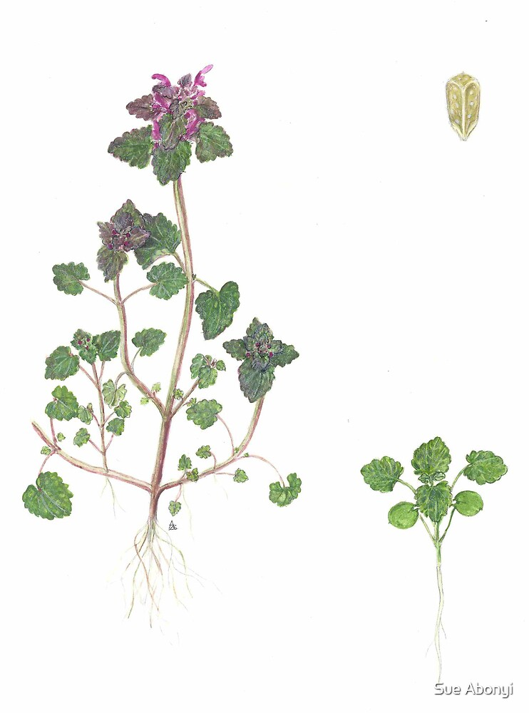 Red Deadnettle - Lamium purpureum by Sue Abonyi
