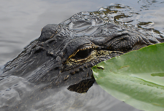 Gator was looking at me by William Mendez