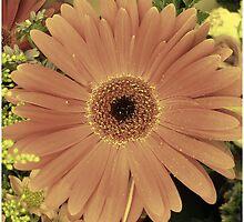 Gerber daisy by Rezwana