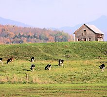 Cows Graining in Vermont by jonathaninvermont