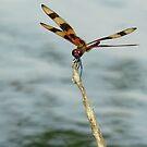Halloween Pennant Dragonfly by Grayce Pedulla-Dillon