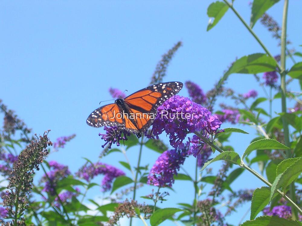 Butterfly in Butterfly Bush by Johanna  Rutter