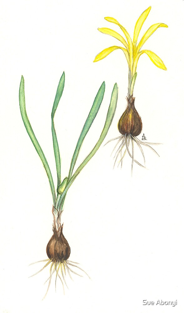 Sowing Lily-of-the-Field - Sternbergia colchiciflora by Sue Abonyi