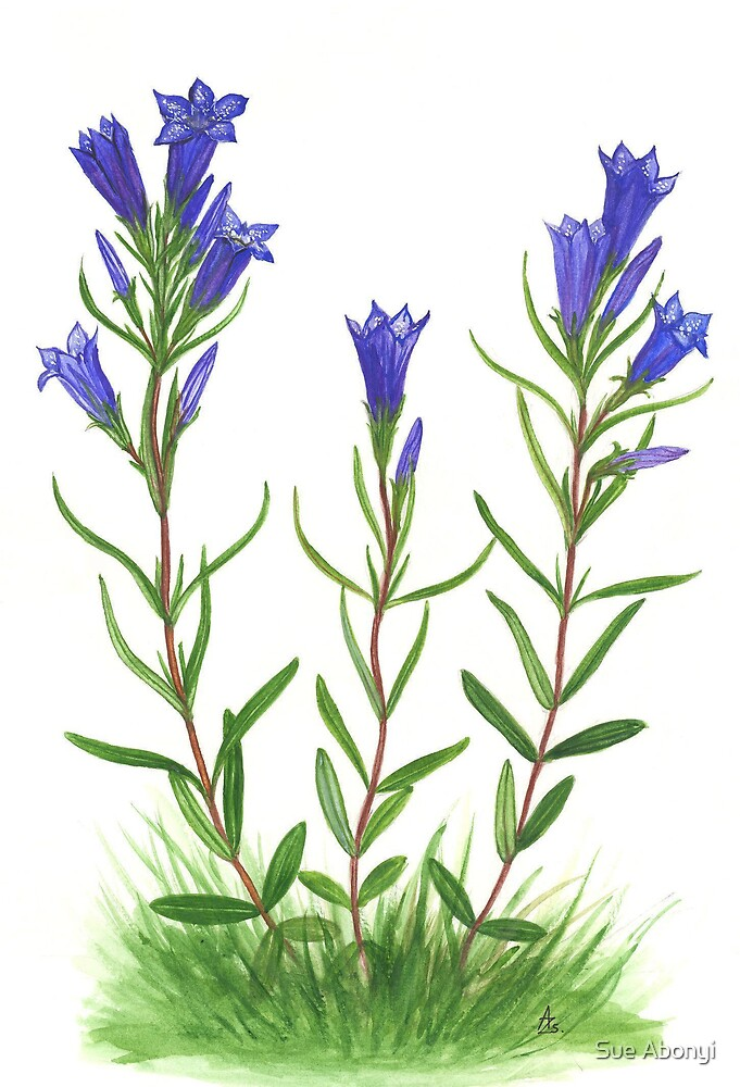 March Gentiana - Gentiana pneumonanthe by Sue Abonyi