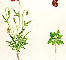 Common Poppy - Papaver rhoeas by Sue Abonyi