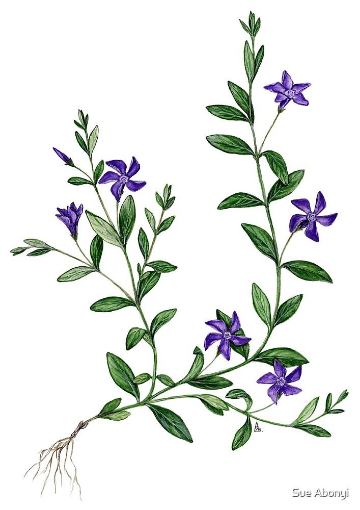 Herbaceous Periwinkle - Vinca herbacea  by Sue Abonyi