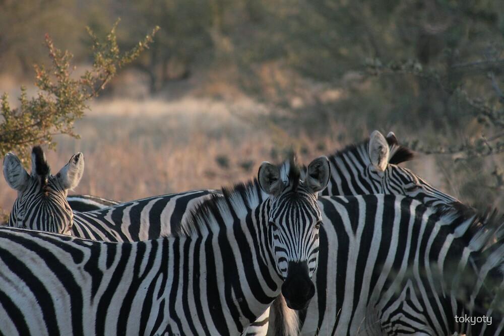 Zebra by tokyoty