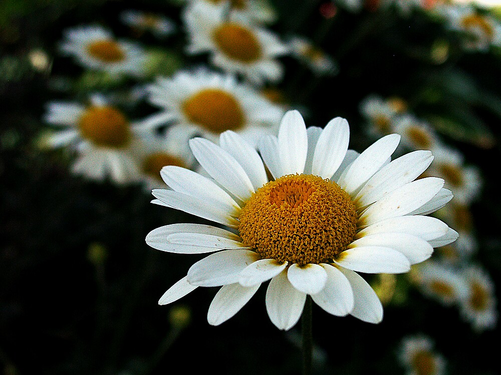 Daisies by David James