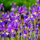 Irises by Elena Elisseeva