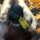 Quack by Steve plowman