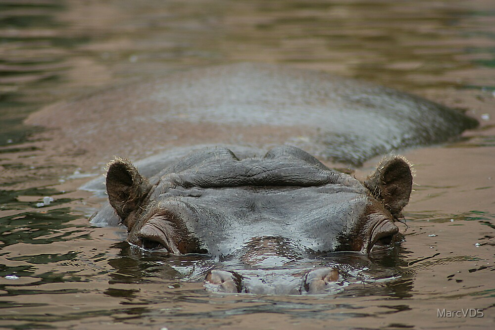 Hippo by MarcVDS