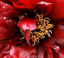 Deep red paeony by Robyn Lakeman