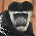 Colobus Monkey, you Looking at Me? by Paul Hull