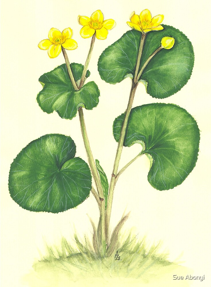 Kingcup - Caltha palustris by Sue Abonyi