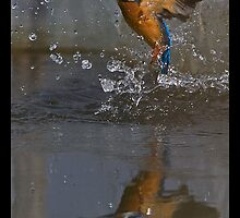 Common Kingfisher after Dive with Catch by ansi247