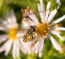 Hoverfly by Robert Carr