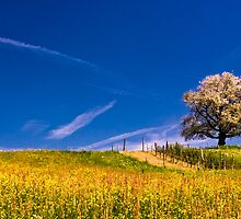 cherry tree in spring by peterwey