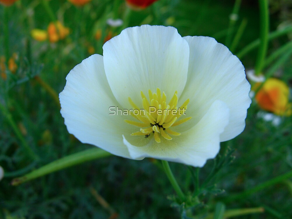 California Poppy by Sharon Perrett