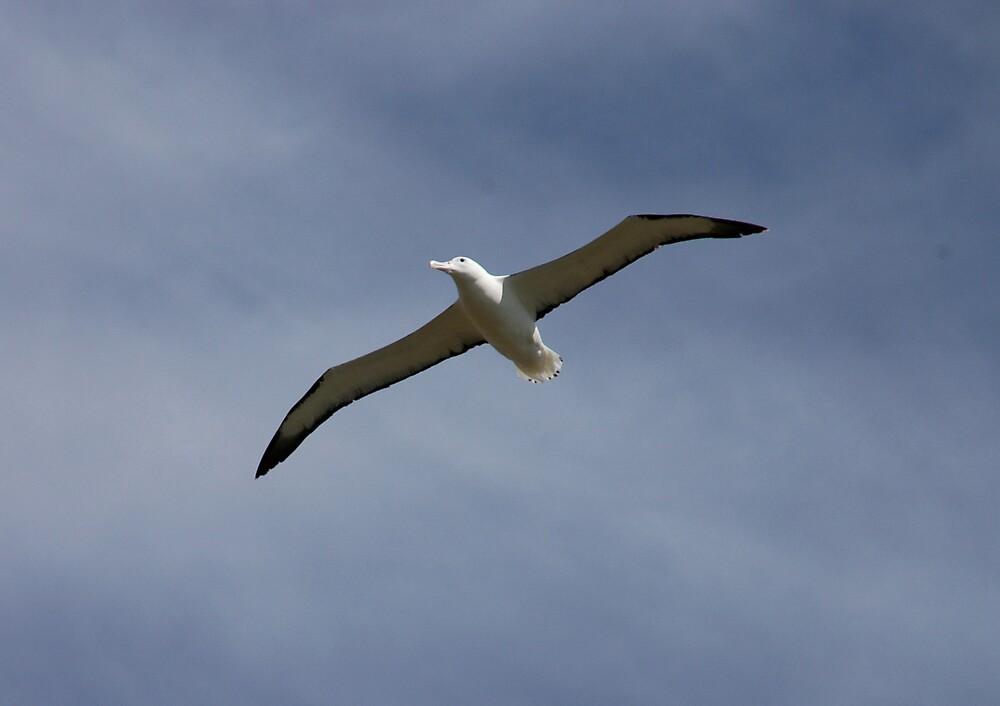 Albatross, NZ by Rudolf