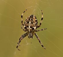 Orb-weaver Spider by Robert Carr