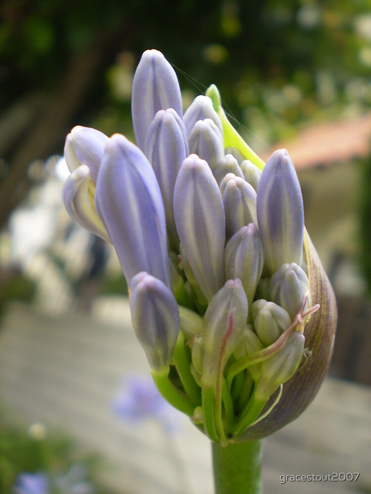 AGAPANTHUS BULB BURSTING by gracestout2007