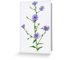 Chicory - Chicorium inthybus Greeting Card