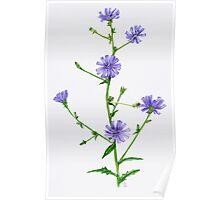 Chicory - Chicorium inthybus Poster