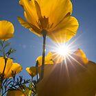 Spring Starburst by Sue  Cullumber