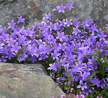 Campanula by Betty Mackey