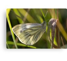 Green-veined White Butterfly Canvas Print