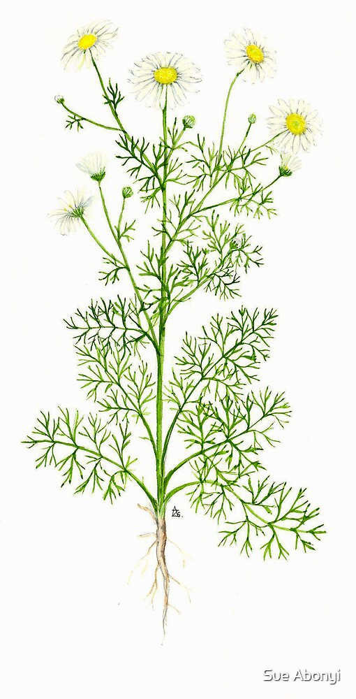 Scentless Mayweed - Matricaria inodora by Sue Abonyi