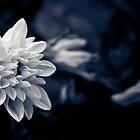 Dahlia by IamPhoto
