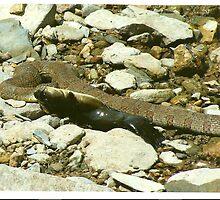 snake eating catfish by robin willis