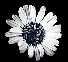 Wild daisy  by IamPhoto