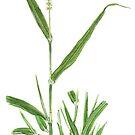 Bristly Foxtail - Setaria verticillata by Sue Abonyi