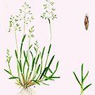 Annual Meadow Grass - Poa annua by Sue Abonyi