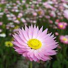 Australian Everlasting Wildflowers by Ye Liew