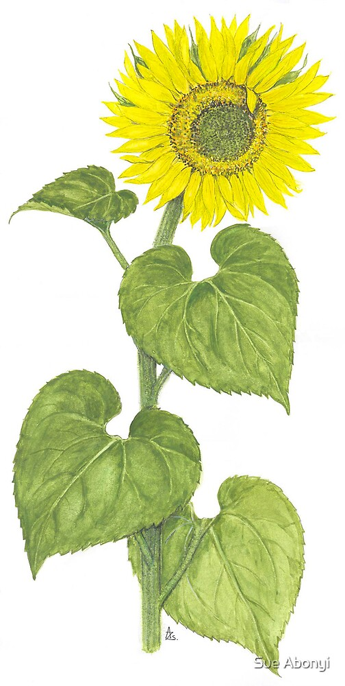 Sunflower - Helianthus annuus No.2 by Sue Abonyi