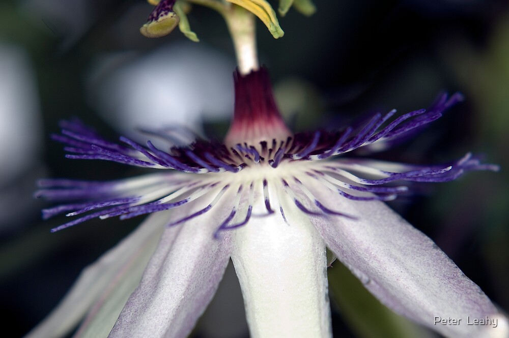 Passiflora Lavendar Lady by Peter  Leahy