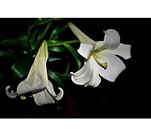 Two white lilies Photographic Print