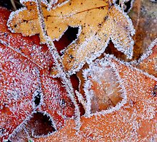Frosty leaves by Elena Elisseeva