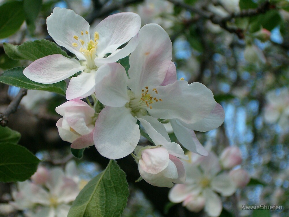 apple blossom by KassieStuefen