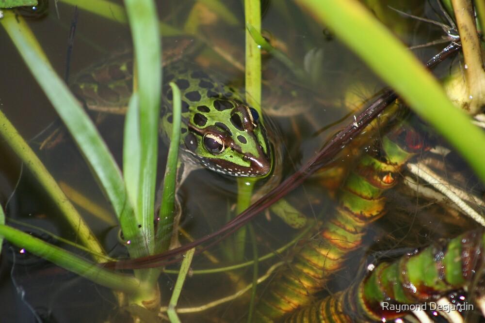 leopard frog in the water by Raymond Desjardin