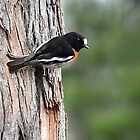 Flame Robin by trevorb