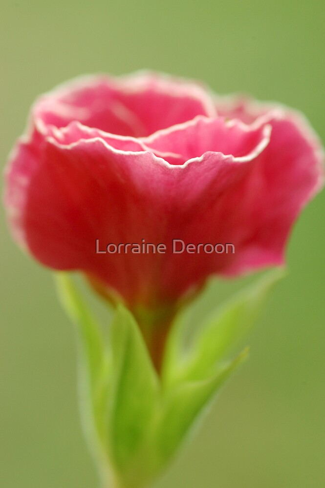 Primula  by Lorraine Deroon