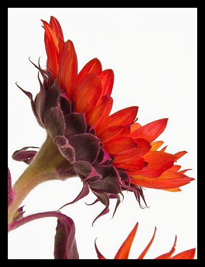Sunflower Profile by Jan Cartwright