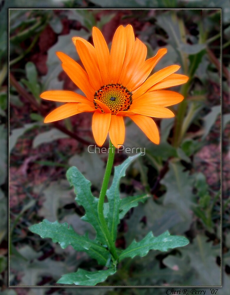 African Daisy I by Cheri Perry