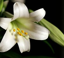 Lily White by Jan Cartwright