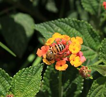 Bee Pollinating Yellow and Pink Flowers by rhamm