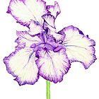 Bearded Iris by Neroli Henderson